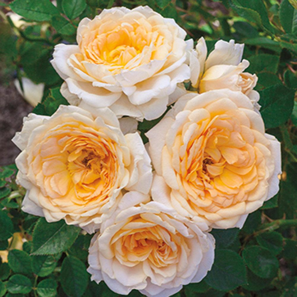 New 2 Downton Abbey Roses Squak Mt Greenhouses Amp Nursery