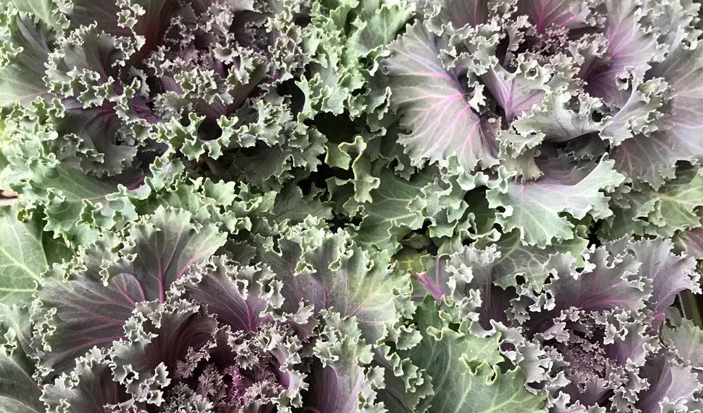 Squak Mt Grown: Cabbage