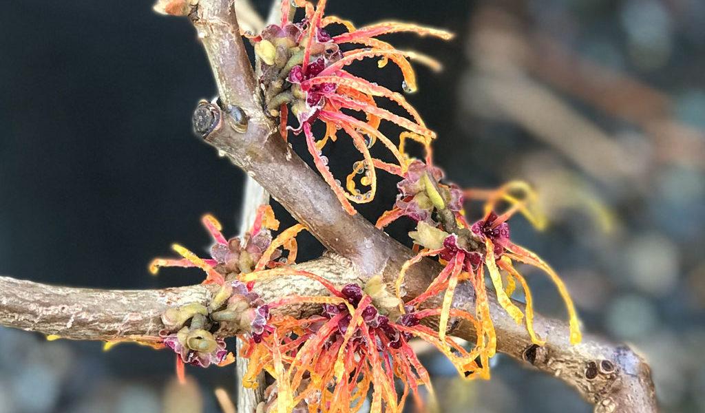 Winter Flowering Favorites: Witch Hazel